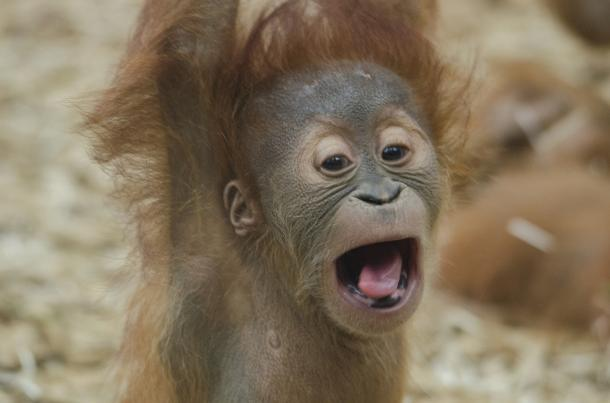 Bébi orángután